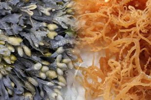 sea moss and bladderwrack
